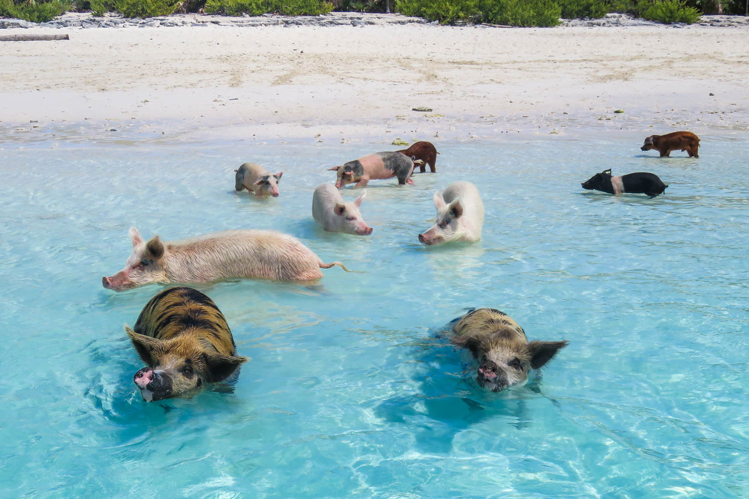 Pig Island Bahamas at Big Major Cay is the home of the Bahamas Swimming Pigs in the Exuma islands. You can visit Pig Beach on a Bahamas Day Trip from Miami or Nassau.