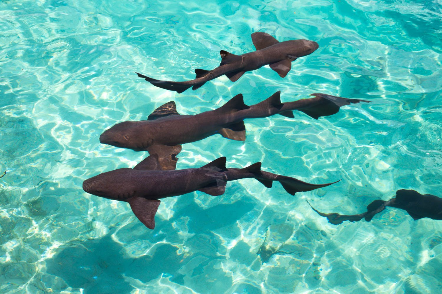 Bahamas Swim with Sharks at Compass Cay on a Nassau Day Trip by plane. Compass Cay is home to Nurse Sharks.