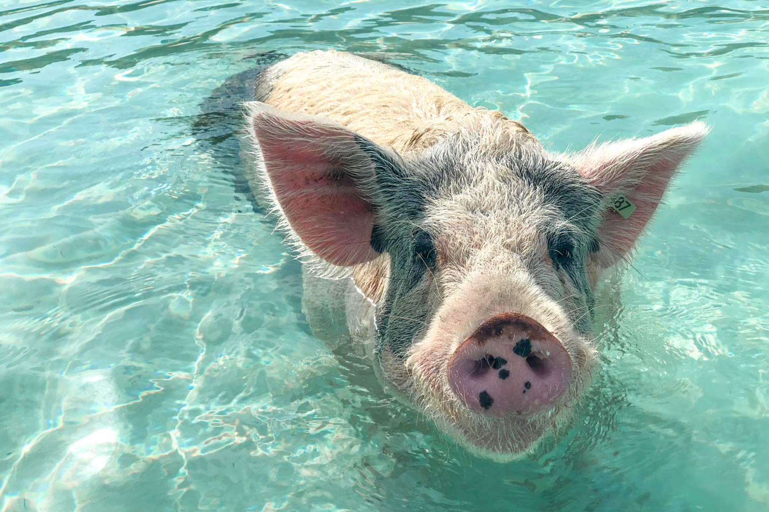 The Bahamas swimming pigs Exuma are the country's top tourist attraction. Pig Island Bahamas (Big Major Cay) is located near Staniel Cay.