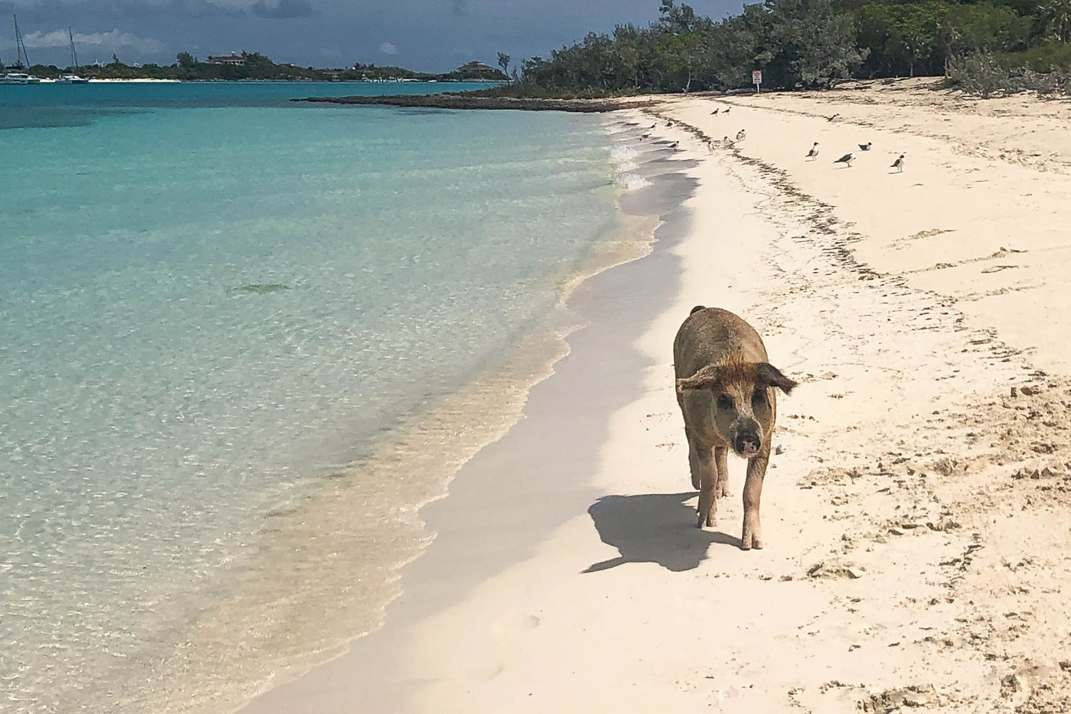 At Big Major Cay, there are up to 25 Exuma pigs. Pig Island Bahamas is one of the most traveled destinations in Exuma Cays.