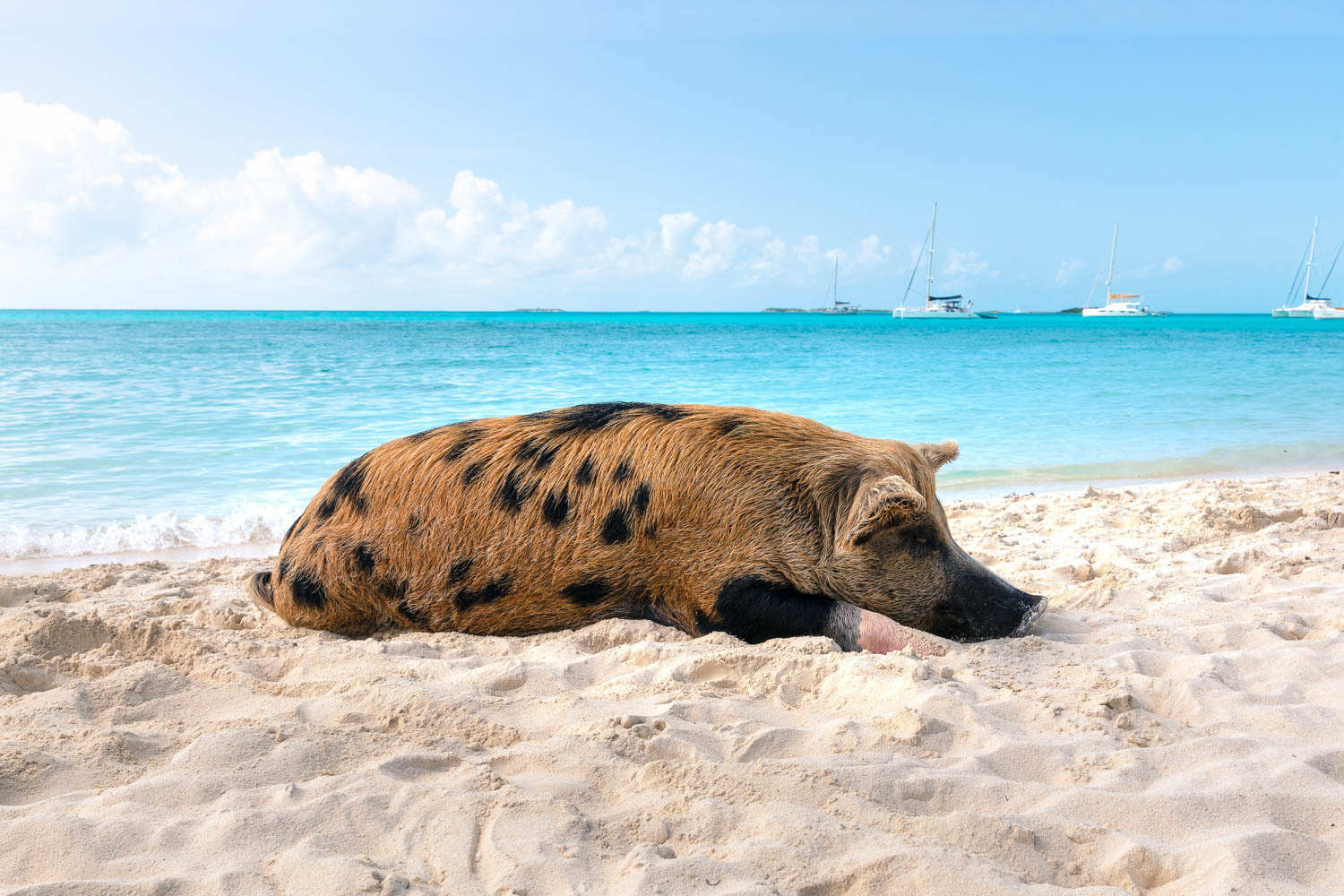 Island with Pigs Bahamas is called Big Major Cay and is located in the Exumas at Staniel Cay. Swimming with Pigs is the top Bahamas visitor attraction to Pig Beach.