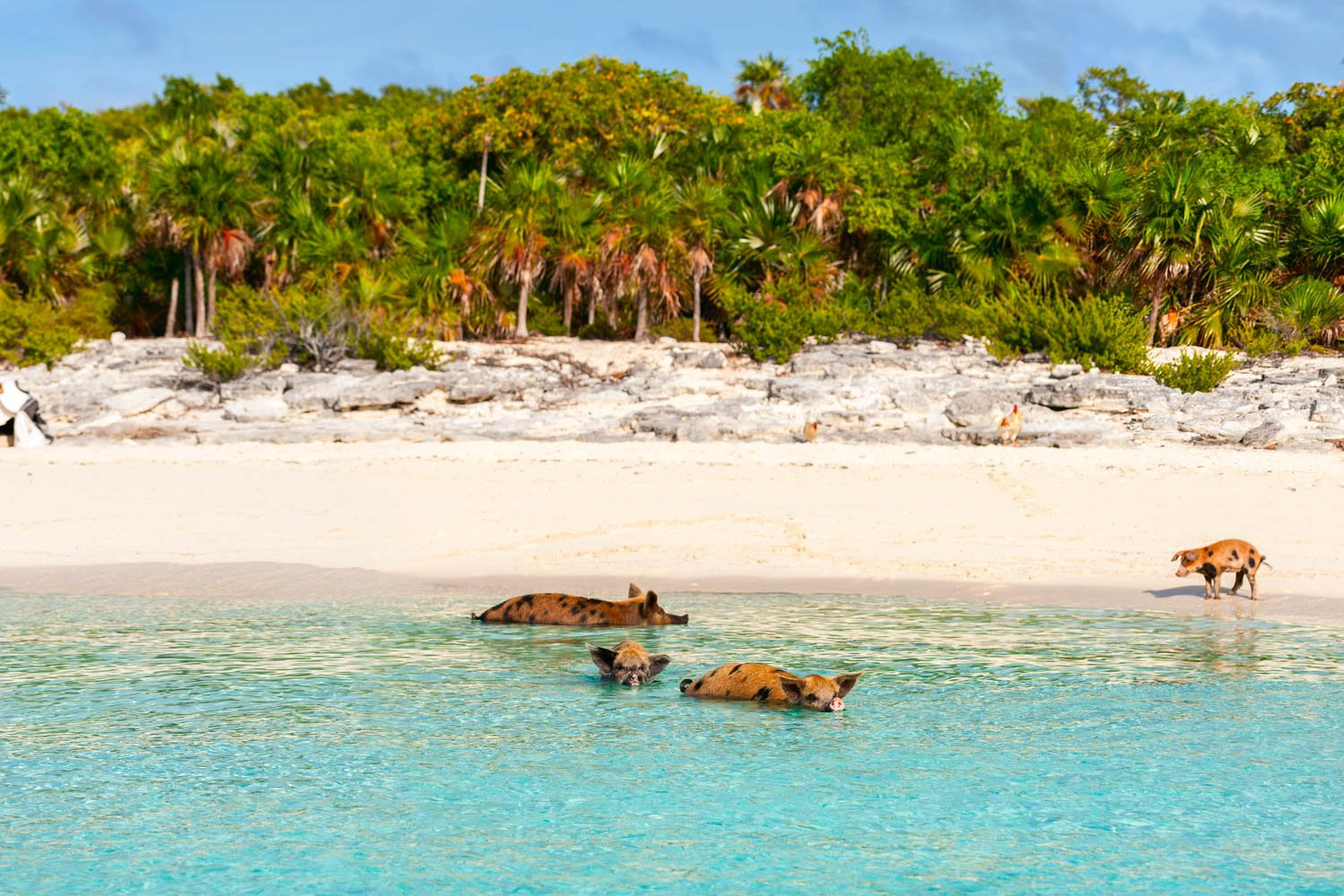 Island With Pigs is called Big Major Cay and it's famous beach is referred to as Pig Beach on Pig Island. These famous swimming Pigs are in the Bahamas Exumas.