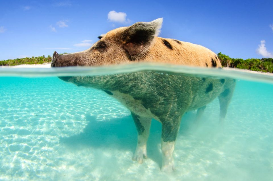 Nassau Swimming Pigs at Pig Beach is a top rated pig beach excursion from Nassau by plane. Go Swimming with the fabulous Swimming Pigs Bahamas of Big Major Cay in the Exuma Islands