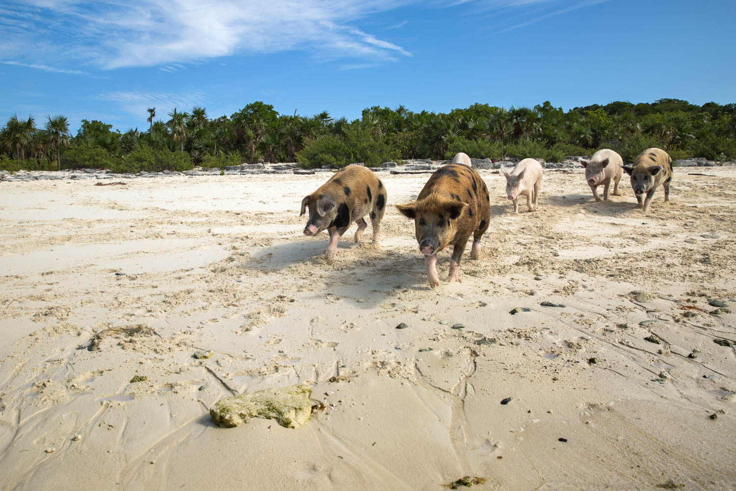 Pig Beach Bahamas, home to the Swimming Pigs in the Exumas Staniel Cay.