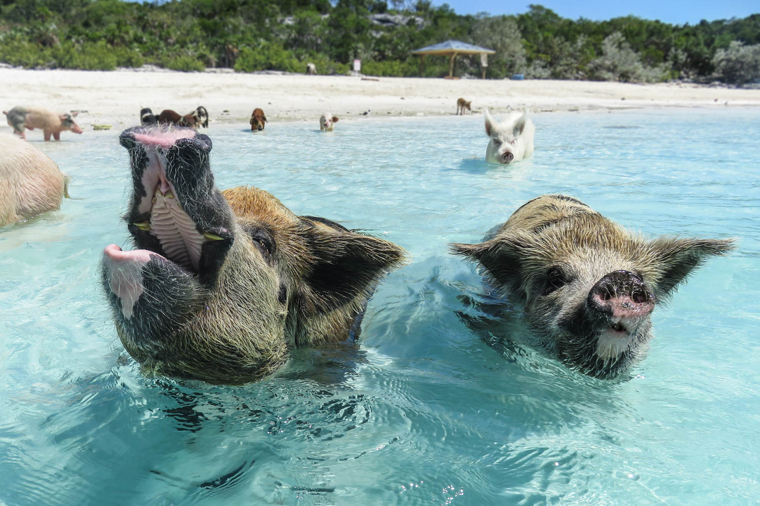 Swimming Pigs Bahamas famous Exuma Pigs which live on Pig Beach at Pig Island next to Staniel Cay in the Exumas. Take a day trip to go Swimming with the Pigs
