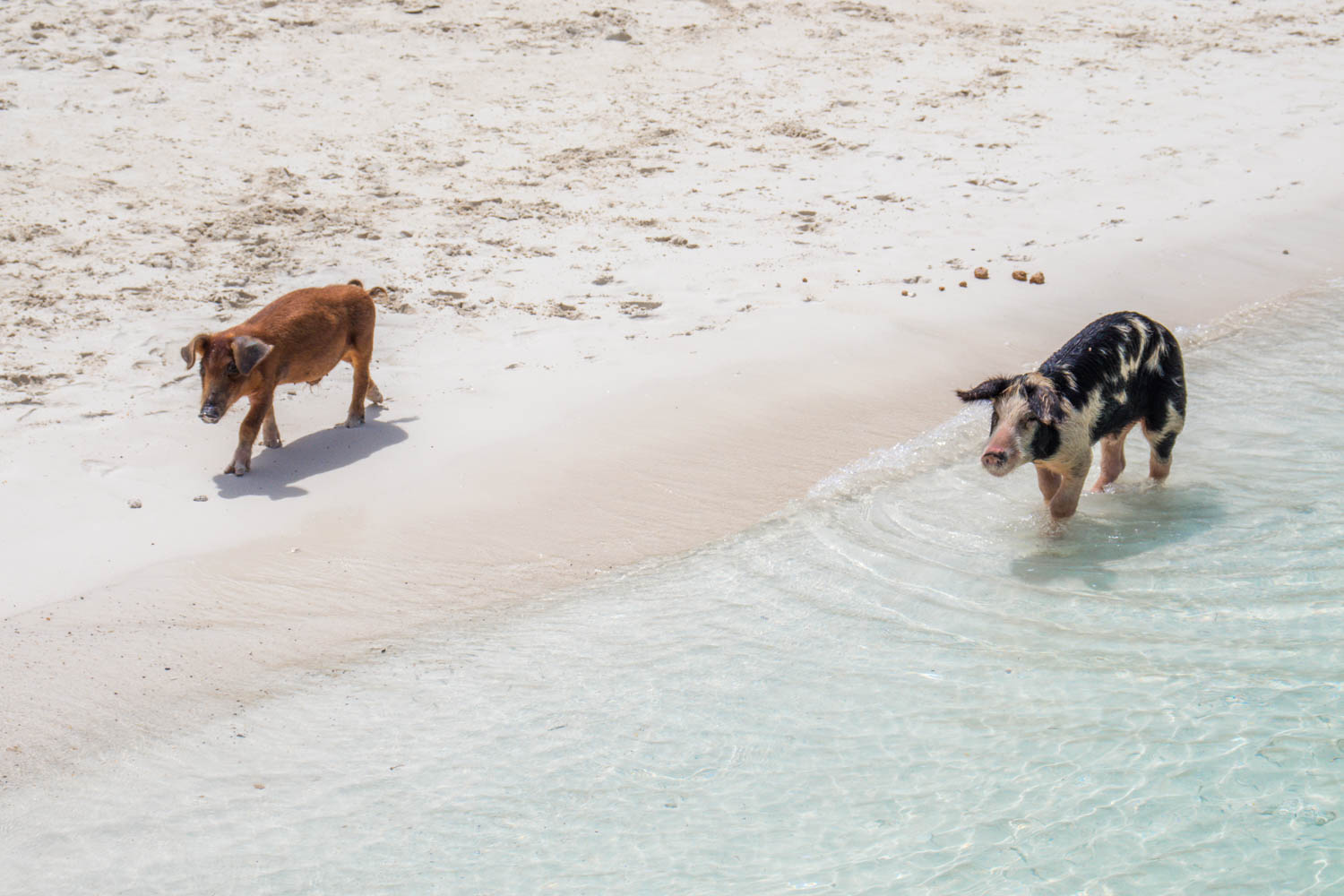 Take a Bahamas swimming pigs Exuma tour today. Your visit to Big Major Cay will include interaction with the Exuma pigs.