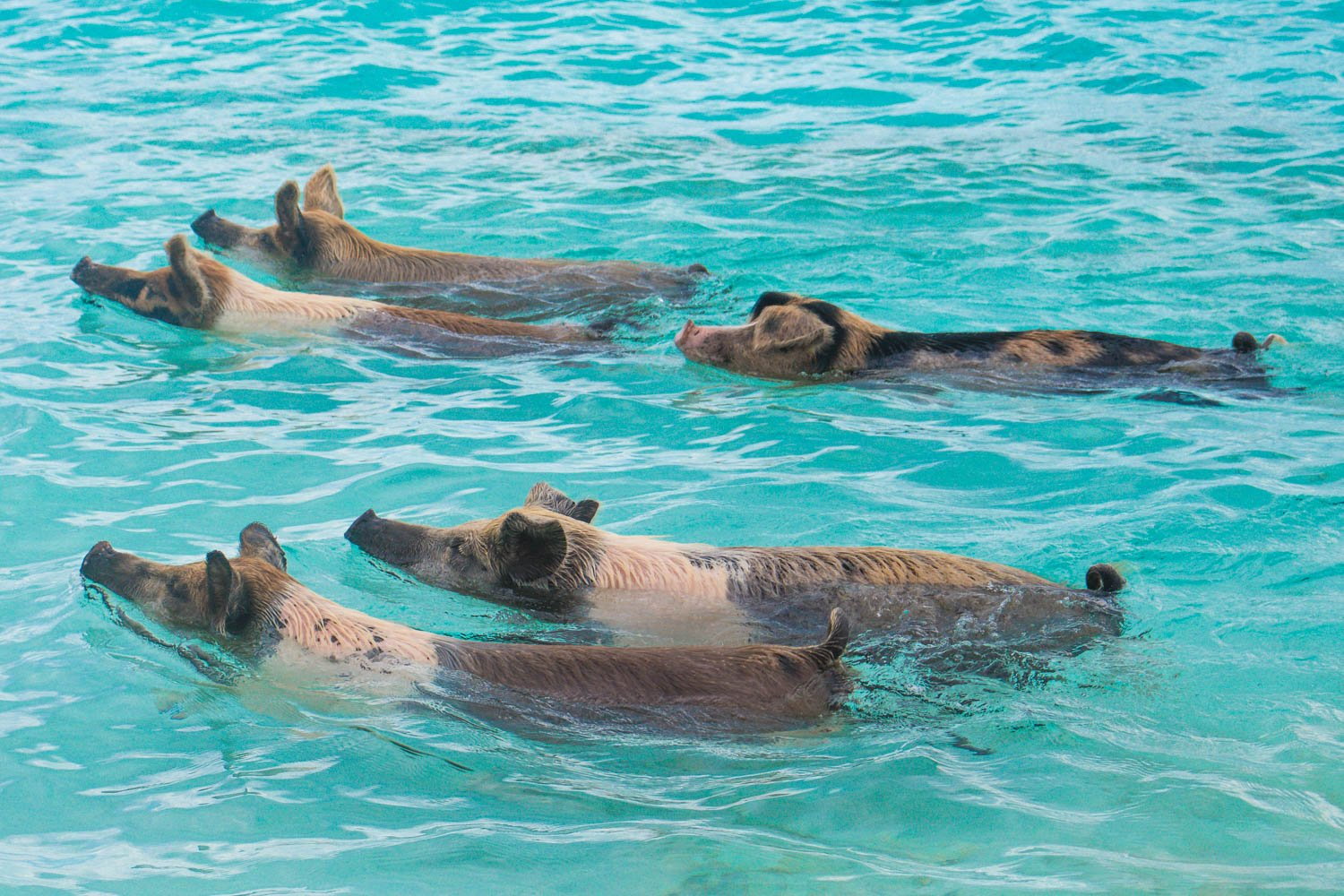 Bahamas Swimming with Pigs Exuma at Pig Island in the Exuma Cays of the Bahamas Islands.