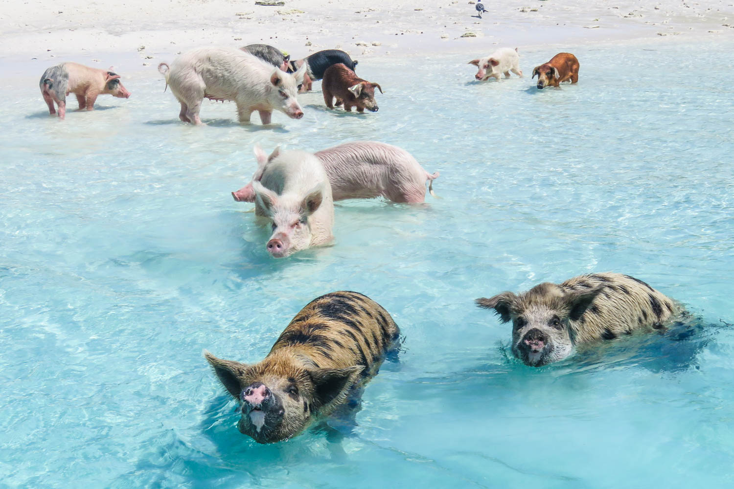 Where is Pig Island? Pig Beach is located on Pig Island also known as Big Major Cay which is 1 of 365 islands that make up the Exuma Cays within the Bahamas Out islands.