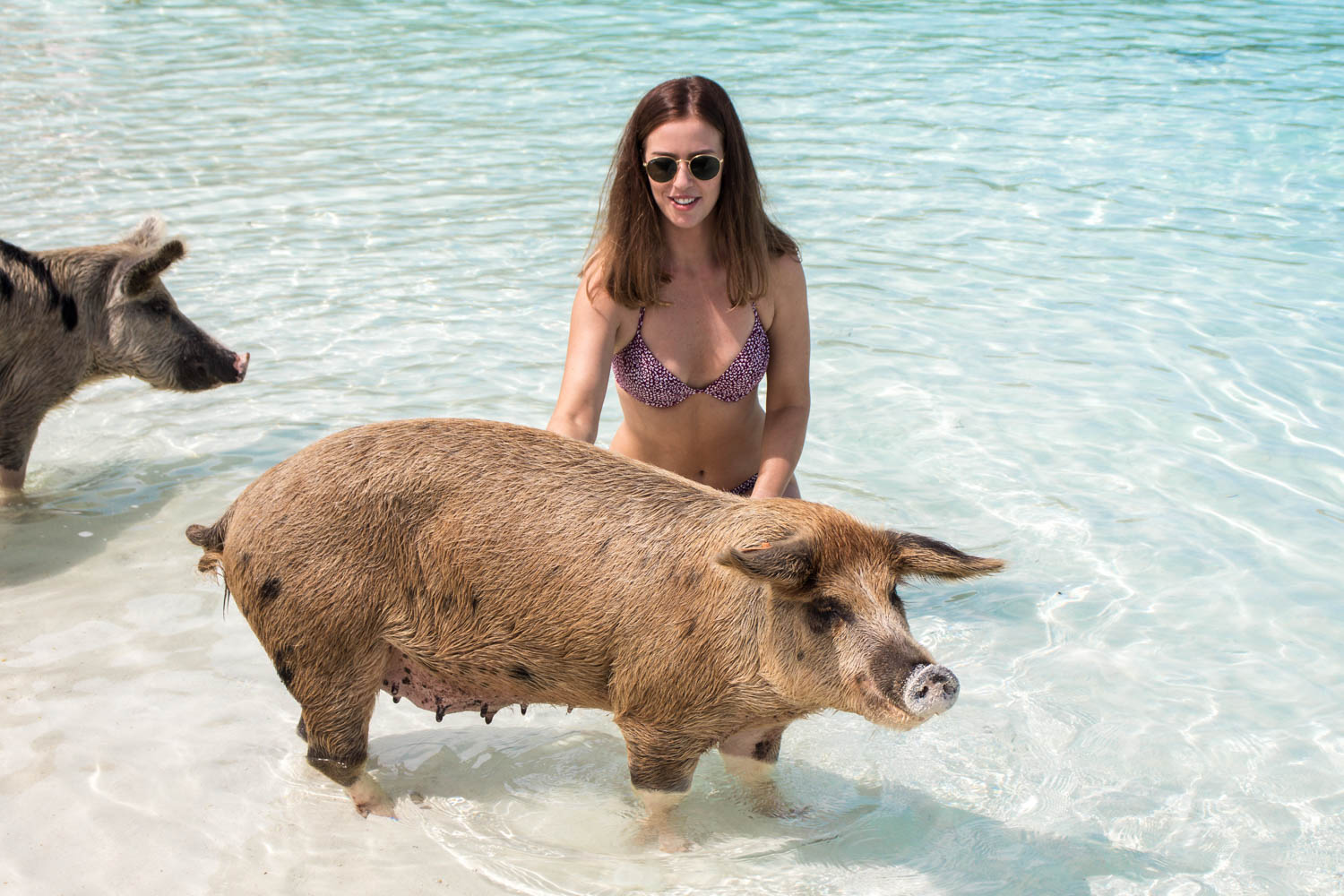 Pig Beach is home to the Bahamas swimming pigs. Over 25 Exuma pigs live on Pig Island (Big Major Cay).