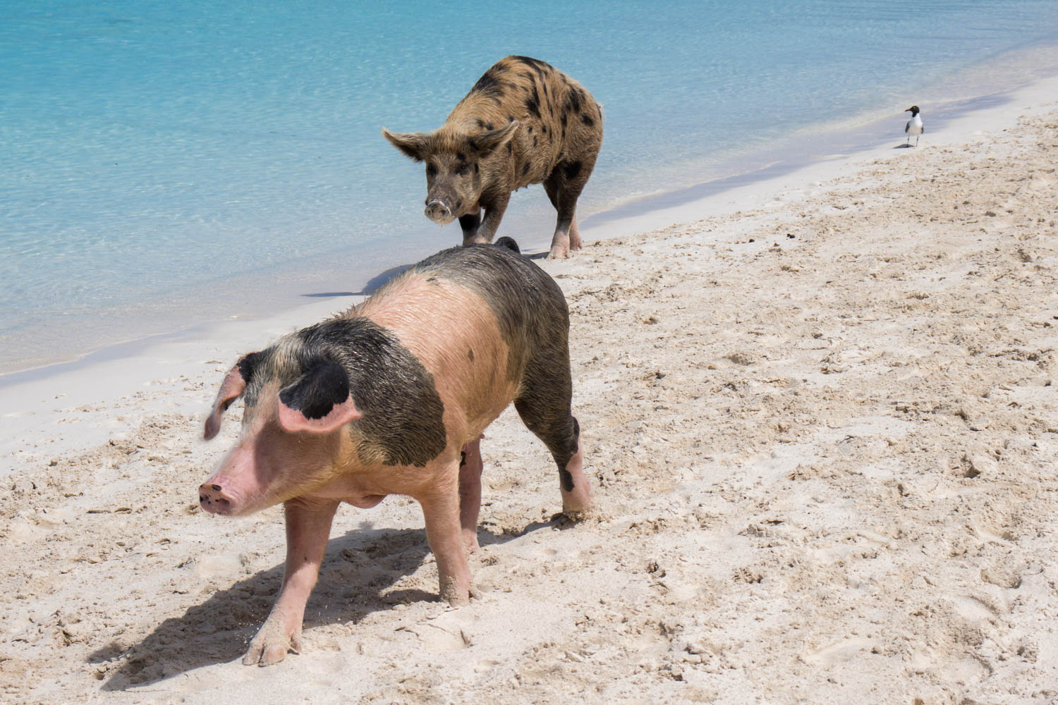 Pig Island is the most visited place in the Bahamas. Pig Beach excusion from Nassau takes roughly thirty minutes by flight to see the Nassau swimming pigs. Shot on Nassau Bahamas shore excursions.