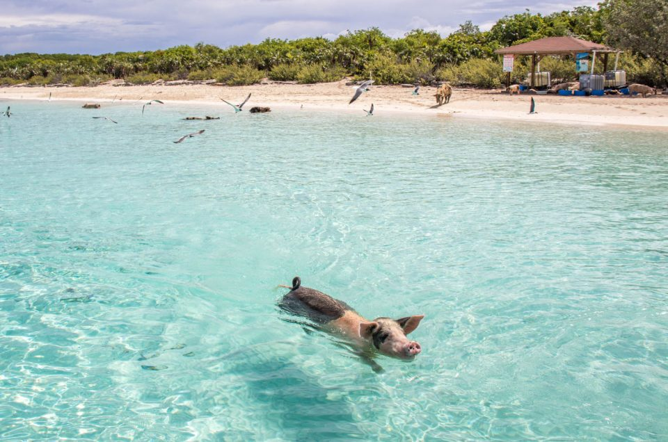 Big Major Cay: Home of the Famous Bahamas Swimming Pigs
