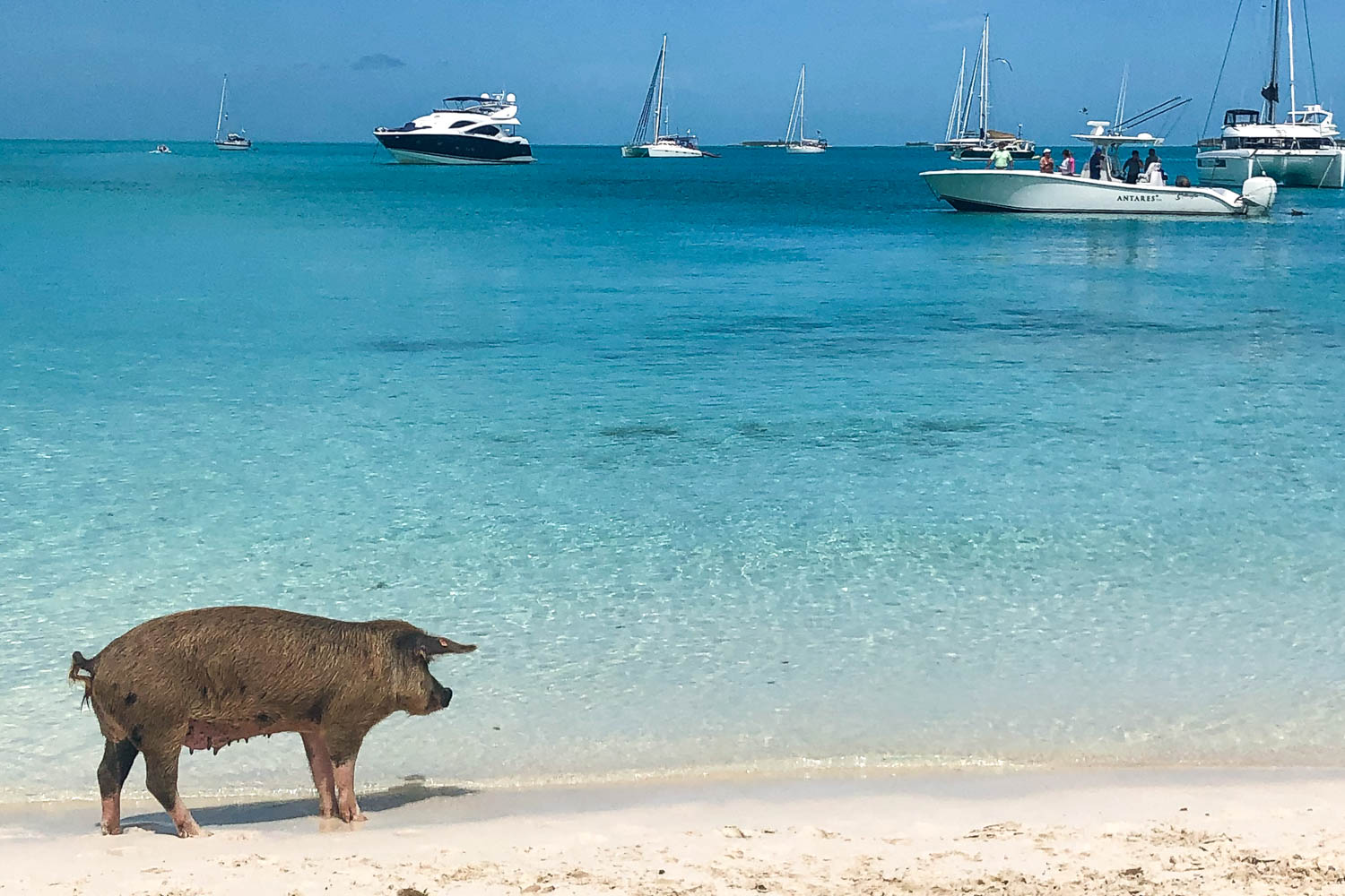 Swimming pig awaits visitors on Big Major Cay (Pig Island). See these and more Bahamas excursions on your one day cruise to Bahamas from Miami.