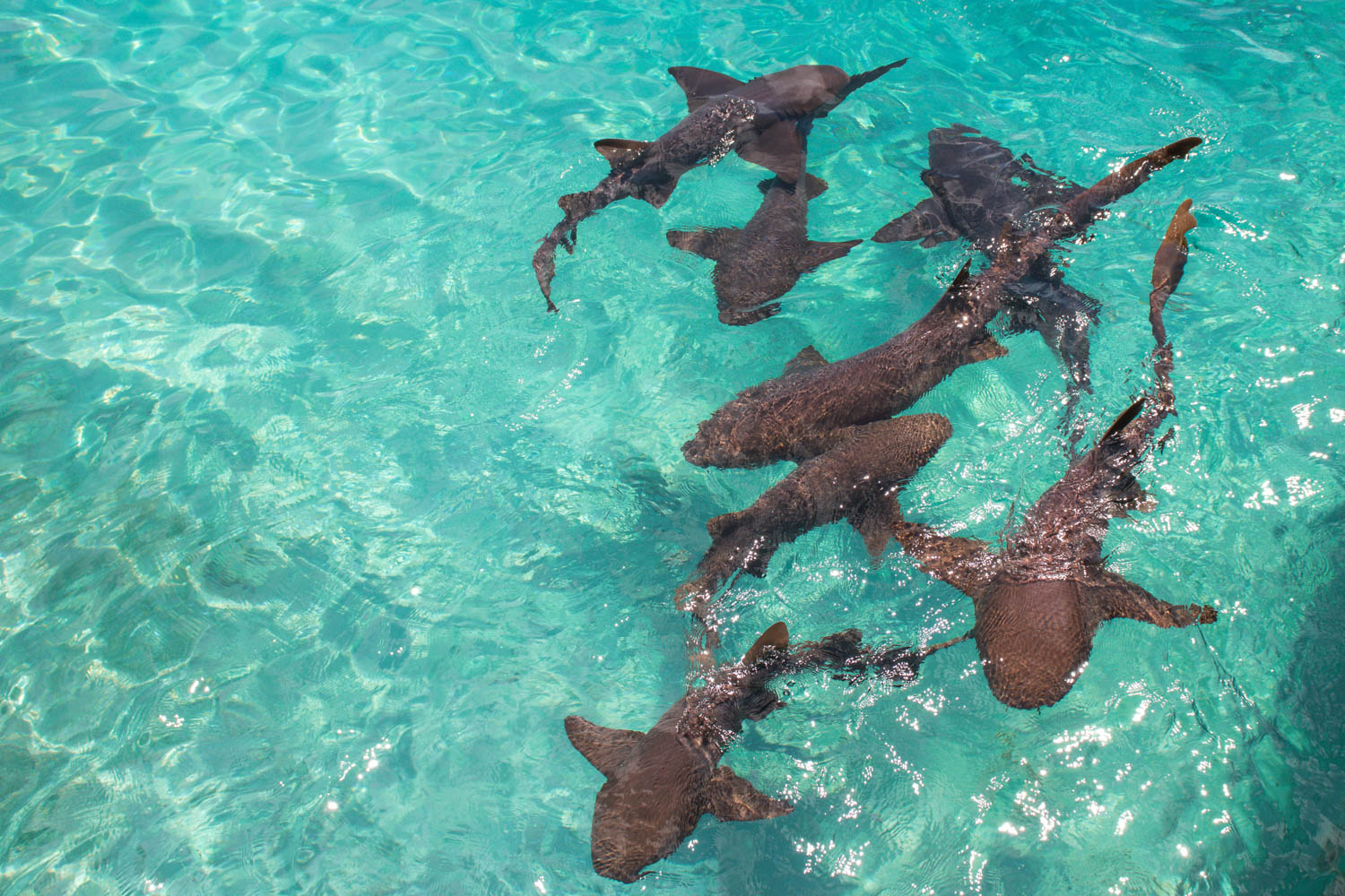 The Compass Cay sharks catch eyes on day trips from Nassau to Exuma. They are the best excursions in Bahamas.