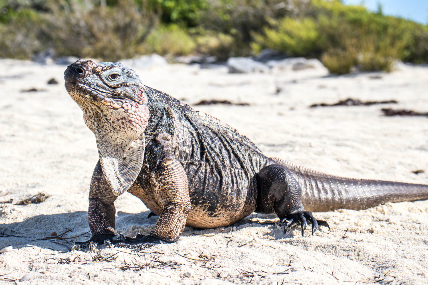 The Bahamian Rock Iguanas are an endangered species. You can see them at Bitter Guana Cay on your day trips to Bahamas on a 1 day cruise from Miami. The day trip to Bahamas from Miami goes by the Iguanas.