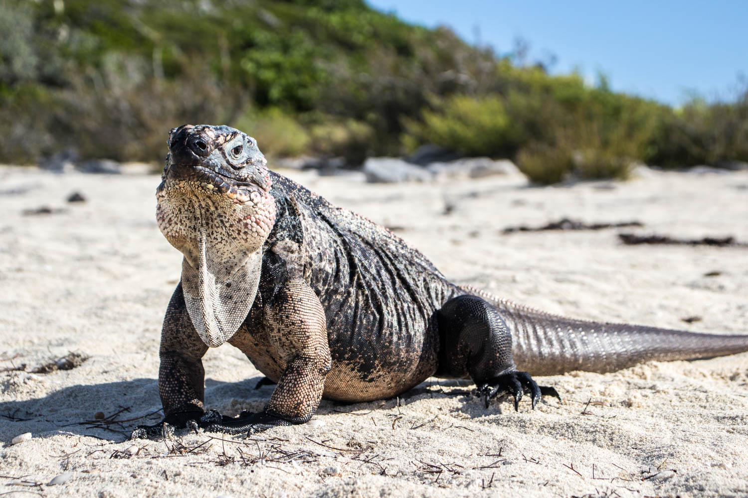 Exuma tours from Nassau can take you to see the Bahamian Rock Iguanas. Exuma excursions from Nassau occur daily.