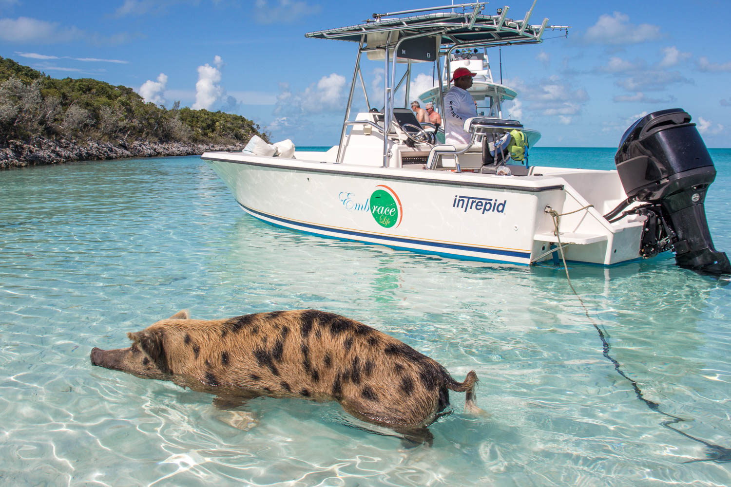 Go on Pig Island tours to live out a dream! Pig Beach excursion from Nassau to Pig Beach Bahamas is available every morning.