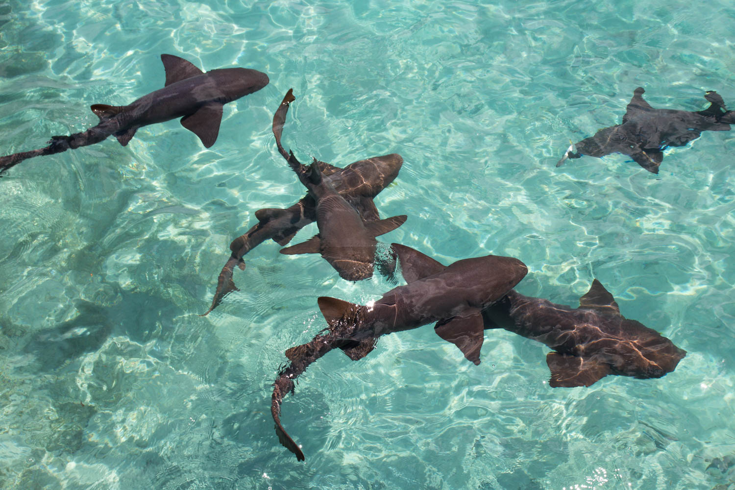 The Compass Cay shark can be seen on your Exuma pig tour from Nassau. A Pig Island tour is a lot more than just the Pig Beach Exuma pigs.