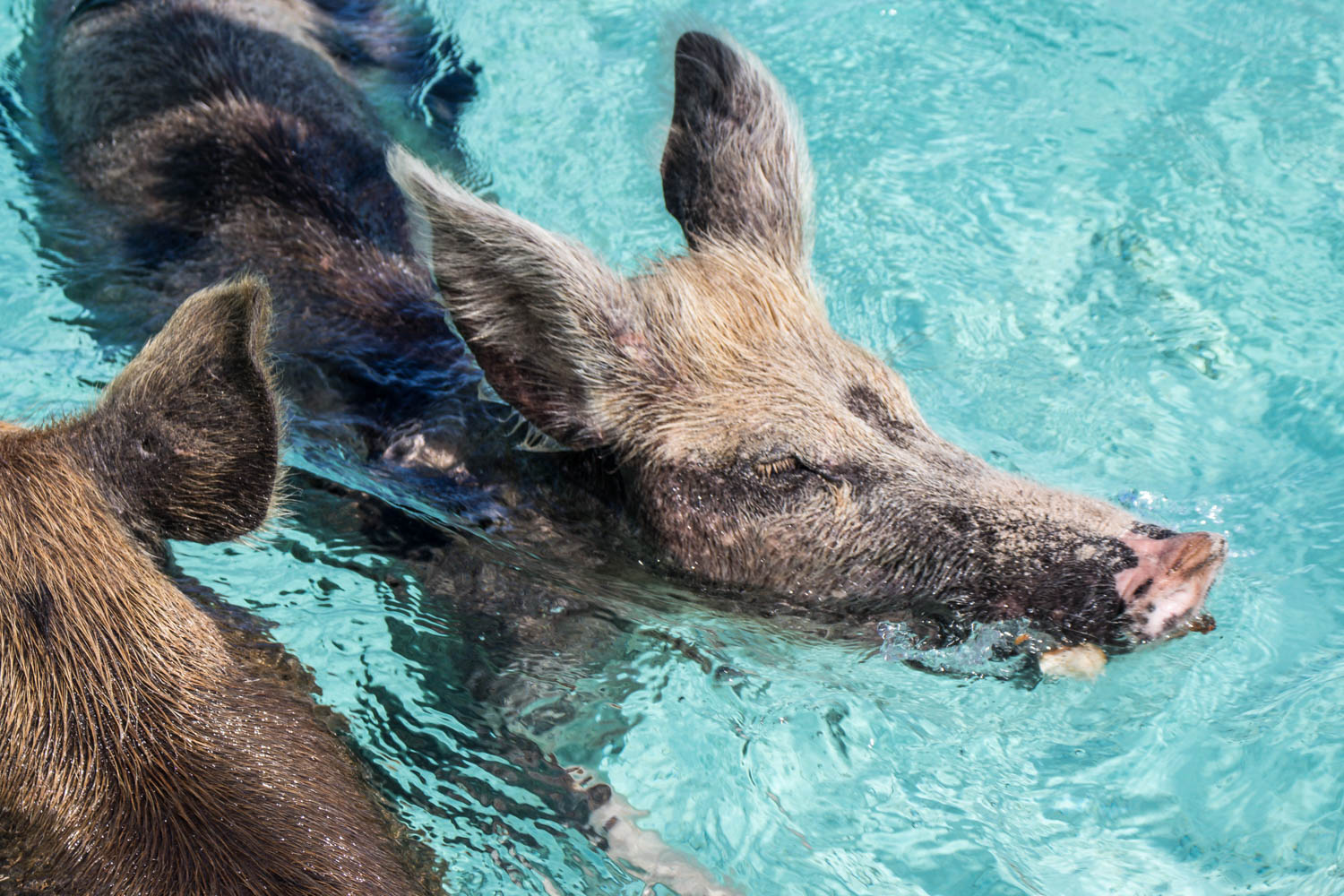 Pig tours are among the most popular attractions on Pig Island Bahamas. Swimming with pigs is one of the nost popular excursions in the world.
