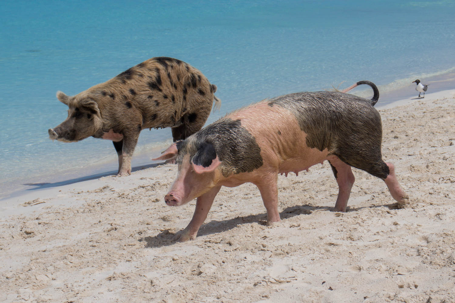 There are 25 Nassau Swimming Pigs at Big Major Cay. You can swim with pigs at Pig Island Bahamas on a Nassau to Pig Beach Bahamas tour.