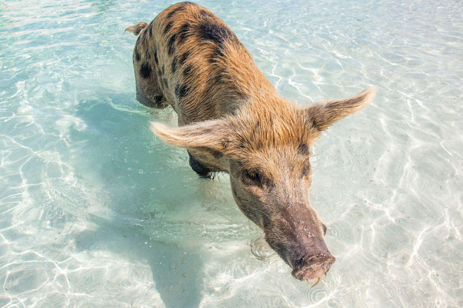 There are Pig Beach Exuma tours running from Nassau every day. Nassau to Pig Beach is just a short flight or ferry away.