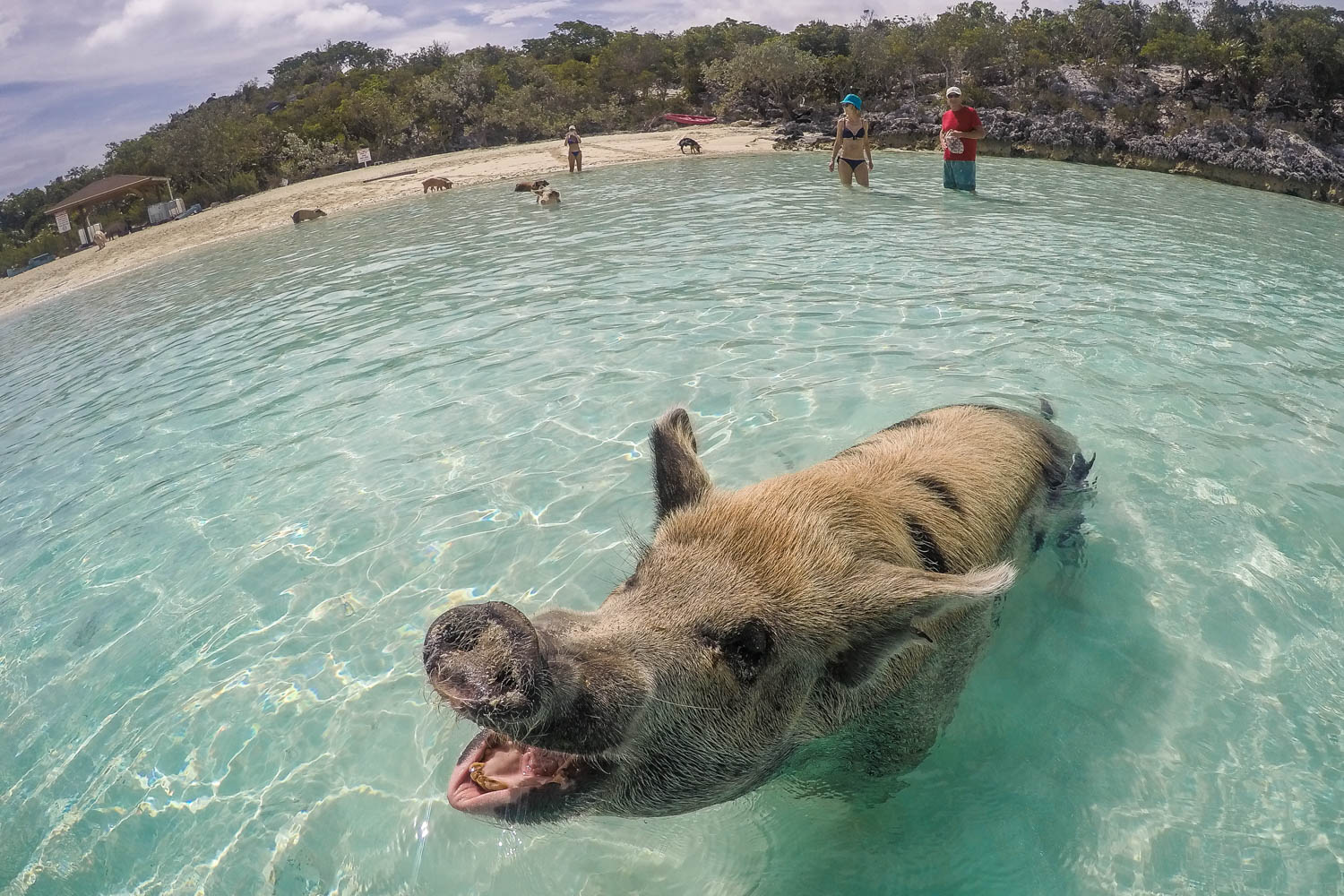 You can play with Exuma pigs on a Pig Island Tour. Pig Beach Bahamas is only ten minutes from Staniel Cay on Exuma tours. A Pig Island from Nassau Bahamas tour is one of the most popular things to do.