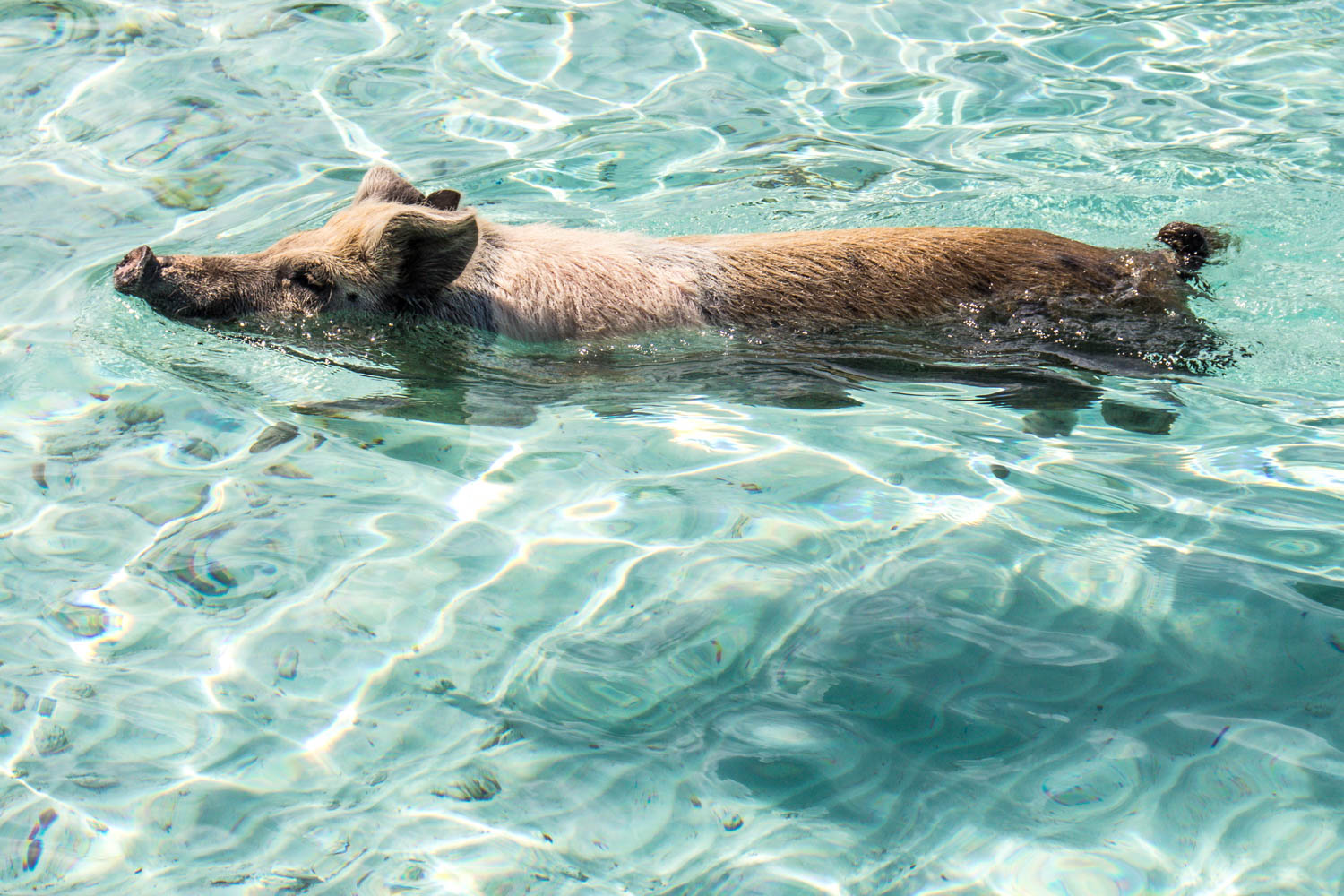 Pig Beach Exuma is a ten minute boat ride from Staniel Cay. A Pig Beach Bahamas tour takes all day from Nassau to Pig Beach.