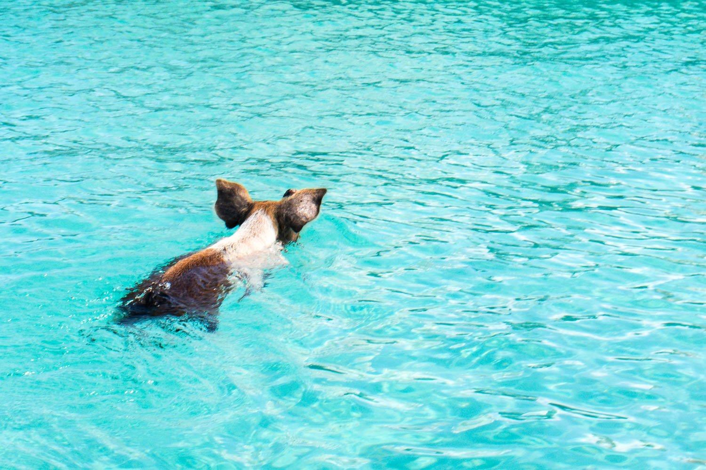 Pig Beach Bahamas is home to 25 Exuma pigs. Nassau to Pig Beach Exuma only takes thirty minutes.