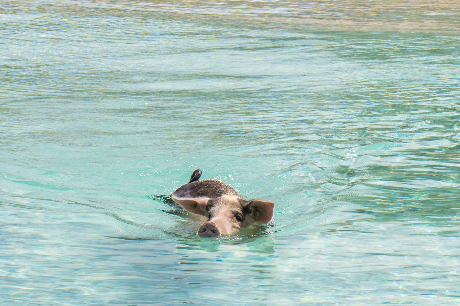 You can take a Pig Beach Bahamas tour from Nassau. The trip to Pig Beach Exuma takes only half an hour on a Nassau to Pig Beach Bahamas tour.