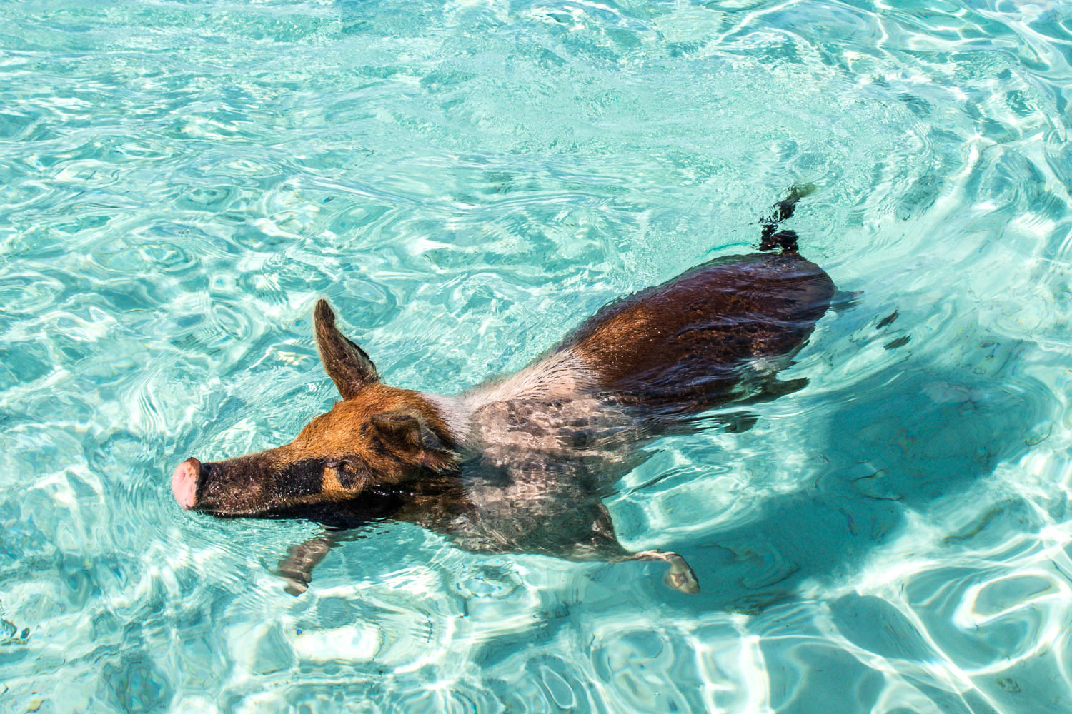 Head out on a Pig Island tour today! Exuma pig tour from Nassau will last approximately 7 hours.