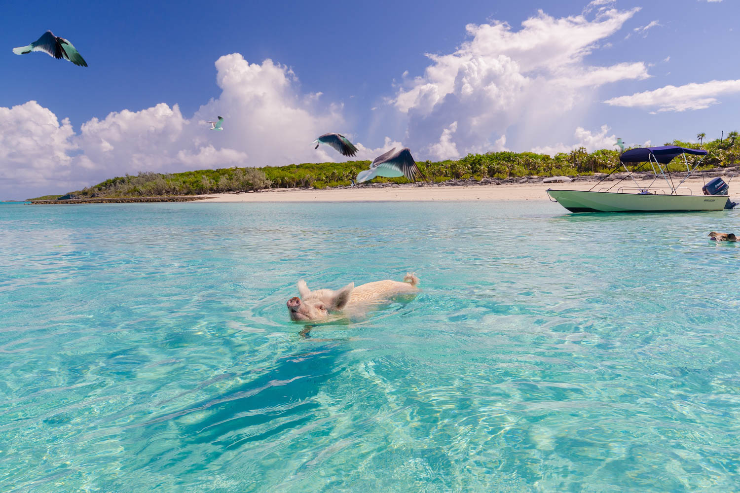 Tours from Nassau leave every morning. The Nassau to Pig Beach Bahamas tour flight takes half and hour for your Exuma Pigs tour.