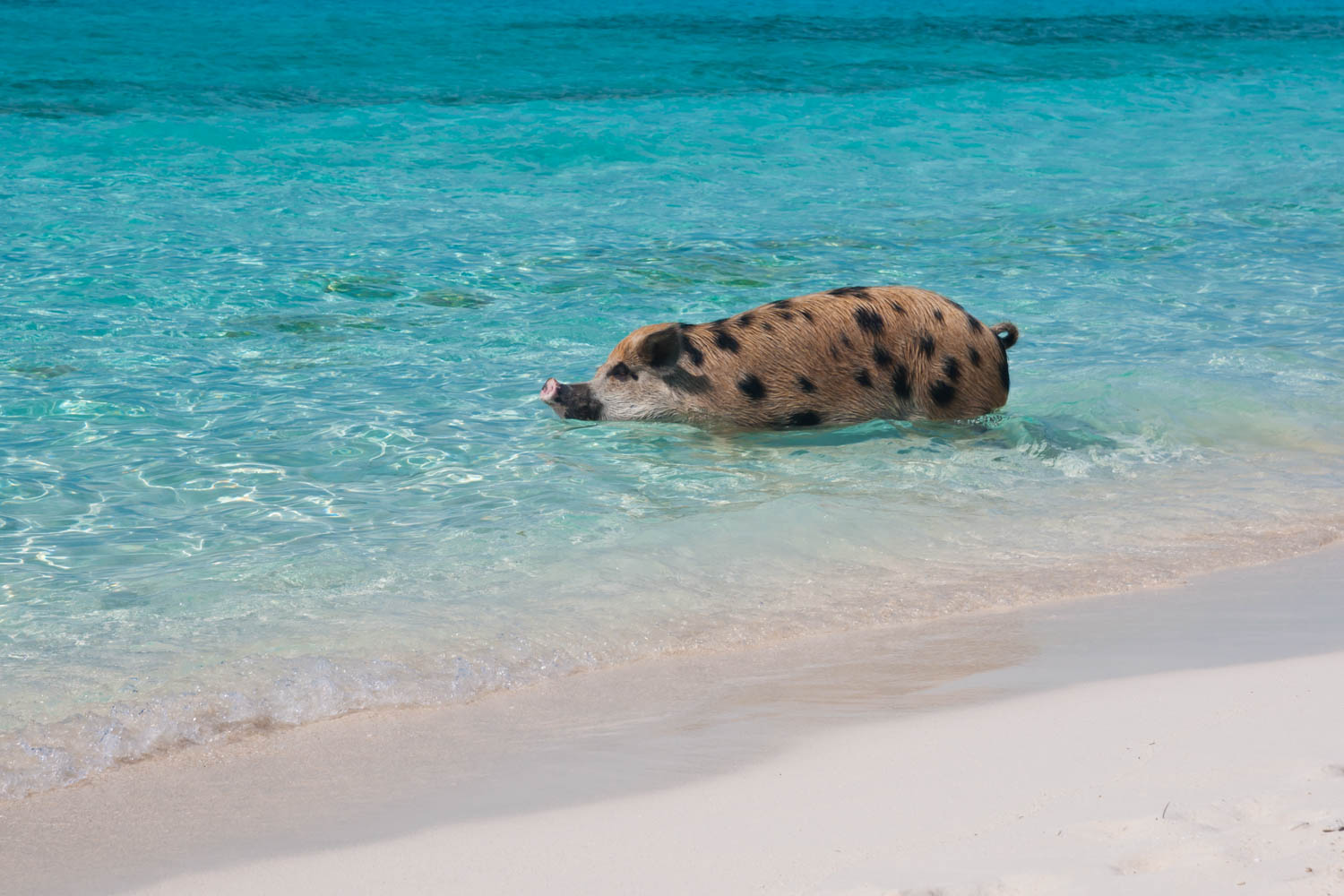Big Major Cay in the Exuma Cays is home to the swimming pigs. Captured on a Pig Island tour to Pig Beach.