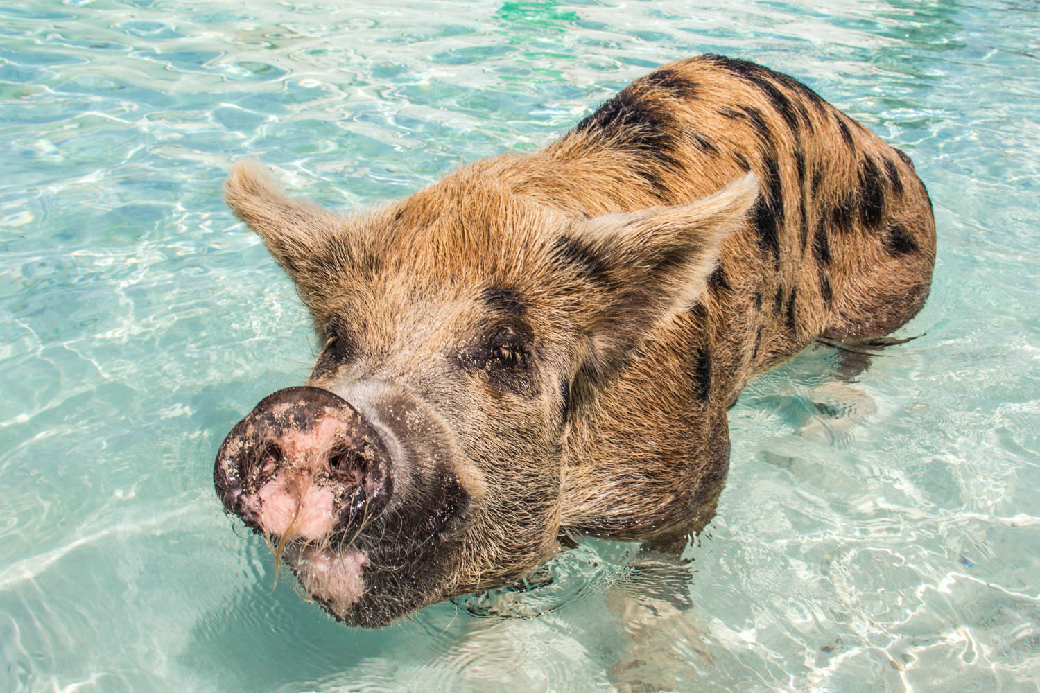 Pig Island Bahamas is home to 25 Exuma pigs. Pig Beach is famous among the Bahamas swimming pigs.