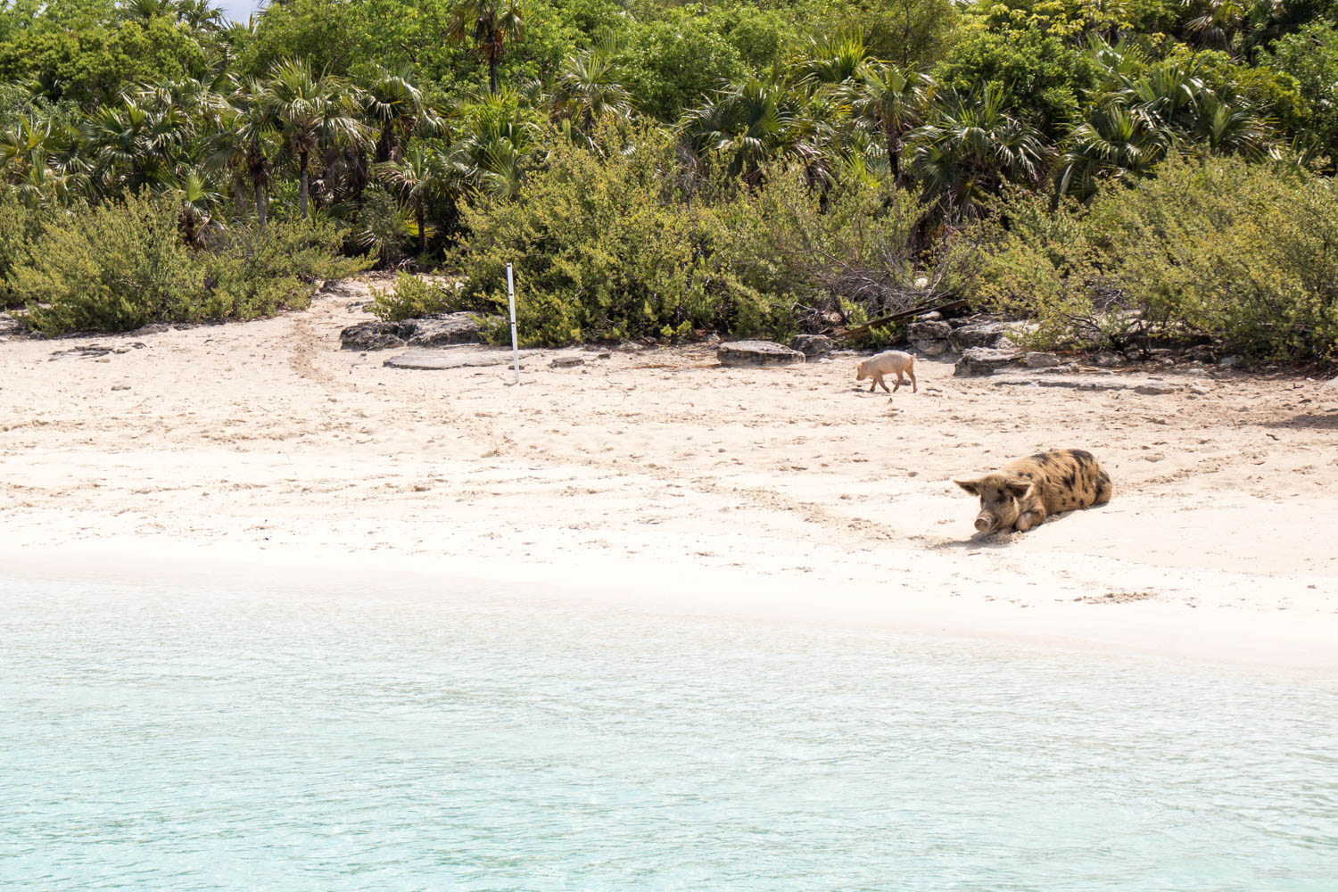 You can take a Pig Island Bahamas tour from Nassau or Fort Lauderdale. Big Major Cay (Pig Island), the island with pigs, is home to 25 pigs and piglets ranging in size.