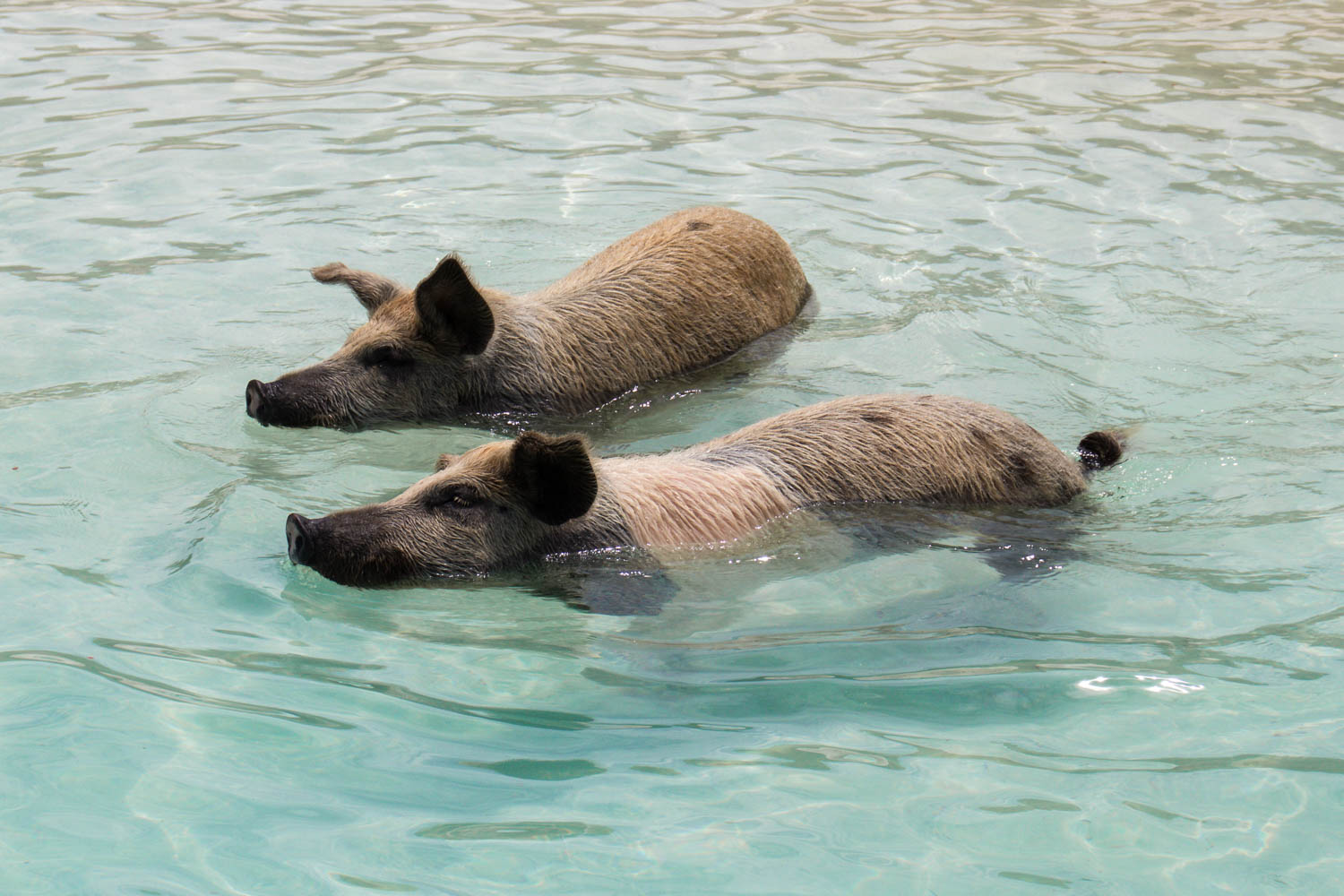 Pig Island tours are the most popular Bahamas excursions in the country. You can take a Pig Island Bahamas tour from Nassau or Fort Lauderdale/ Miami.