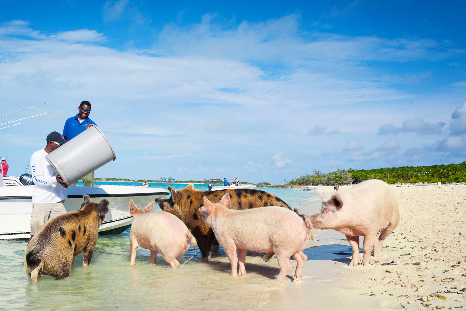 About 25 Exuma pigs live on Big Major Cay at Pig Beach. See them on your Pig Island tour in the Exuma Cays. A Pig Beach Bahamas tour is very popular.