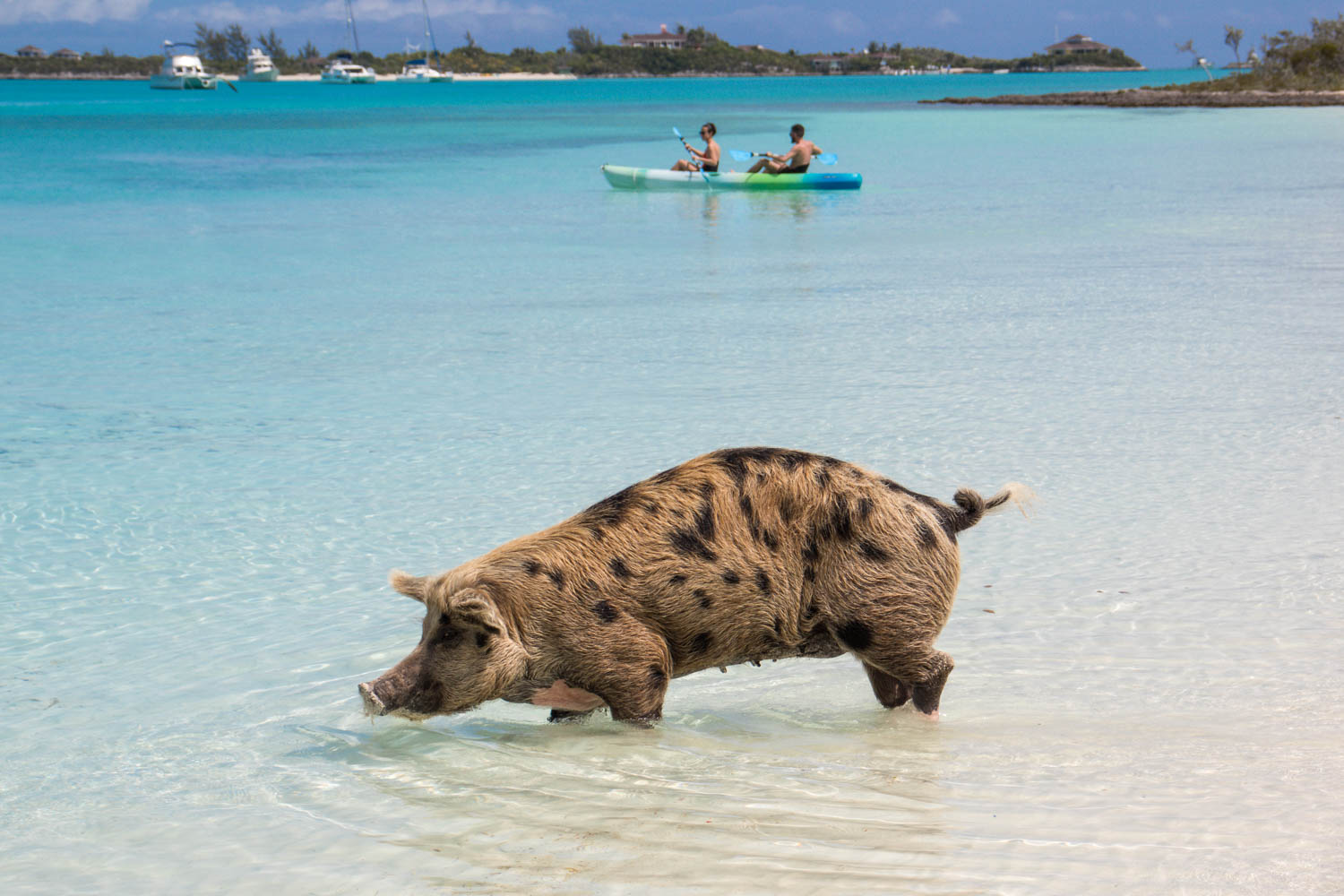 Big Major Cay is home to 25 pigs and piglets. Swimming Pigs Island is near Staniel Cay in the Exumas. Finding where is Pig Island is simple.