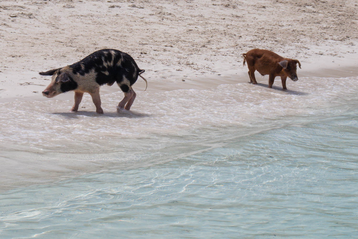 Pig Island has roughly 25 pigs living on it. Pig Beach is usually one of the busiest pig island tours in the Bahamas.