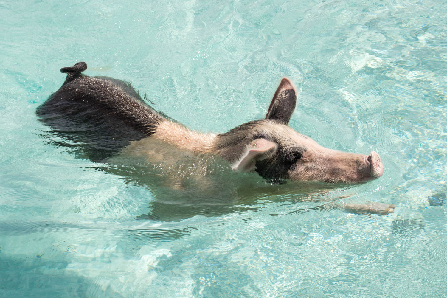 Swimming with pigs Bahamas is the top attraction in the country. An Exuma pigs tour from Nassau will take you directly to Big Major Cay.
