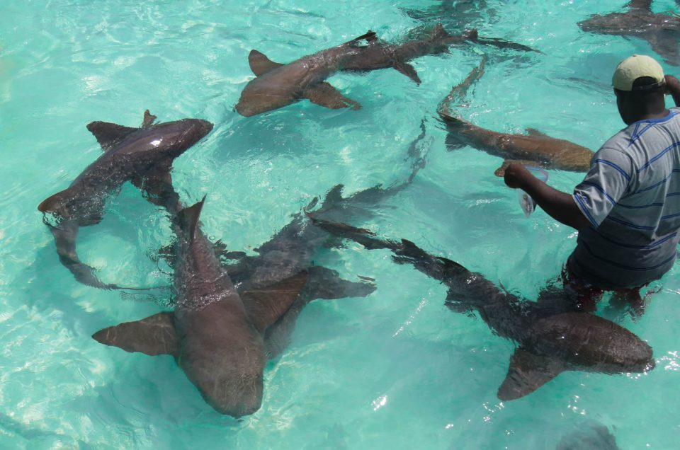 How to Go Swimming with Sharks Bahamas at Compass Cay