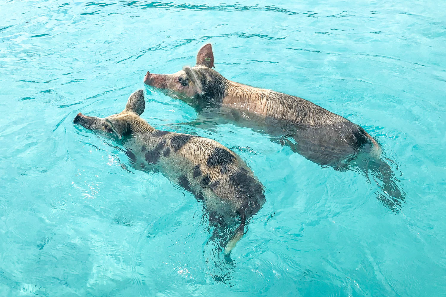 The swimming pigs are the crown jewel of a day trip to Bahamas from Fort Lauderdale. Fort Lauderdale Bahamas day trip plans offer a lot of excursions in one.