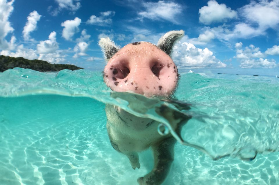 Why going on an Exuma Pigs Tour in the Bahamas is a Must