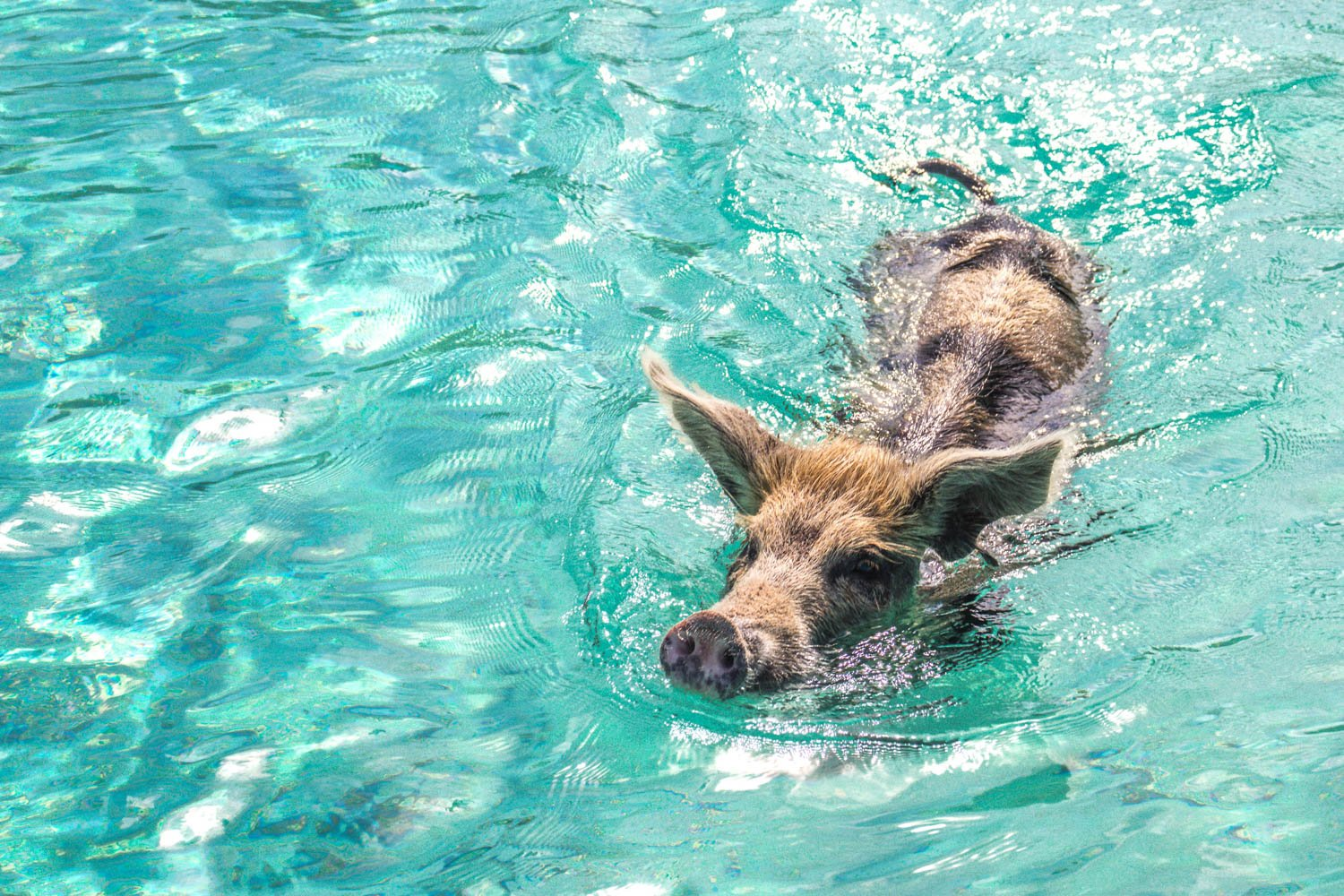 Bahamas day trips are becoming popular things to do in South Florida. Florida to swimming pigs is just a short flight.