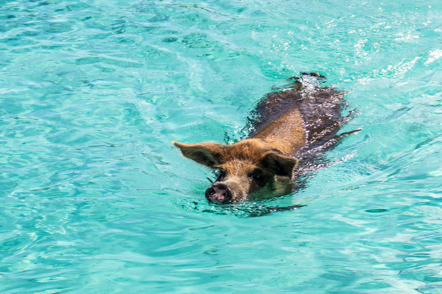 Everyone's favorite; the swimming pigs on day trips to Bahamas. A day trip to Bahamas from Fort Lauderdale is a fun trip for the whole family.