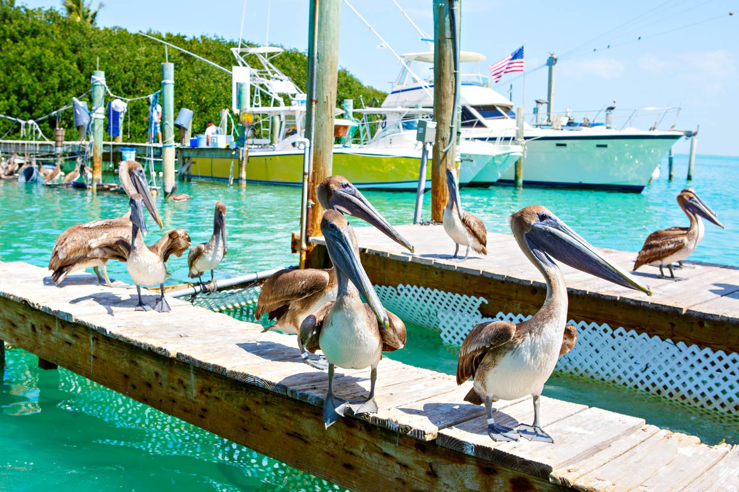 The pelicans are a staple of many Miami day trips as these birds love tropical weather. Miami excursions including Key West are very popular.
