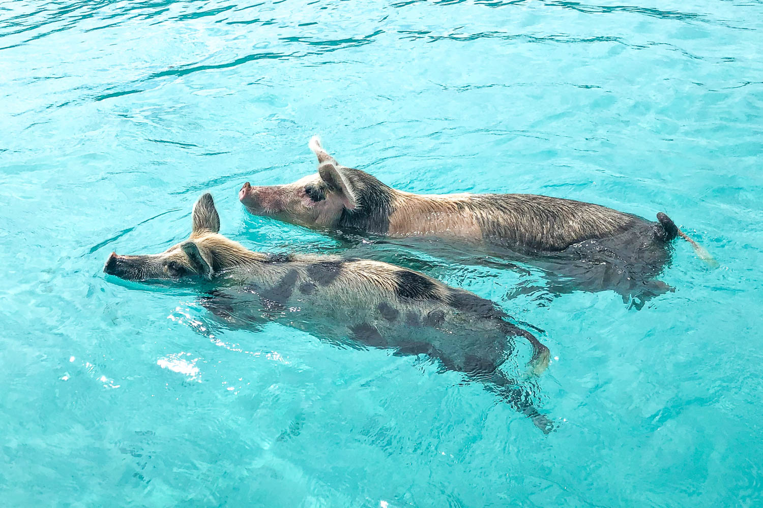 There are many things to do in Nassau on a cruise like a visit to Pig Beach.