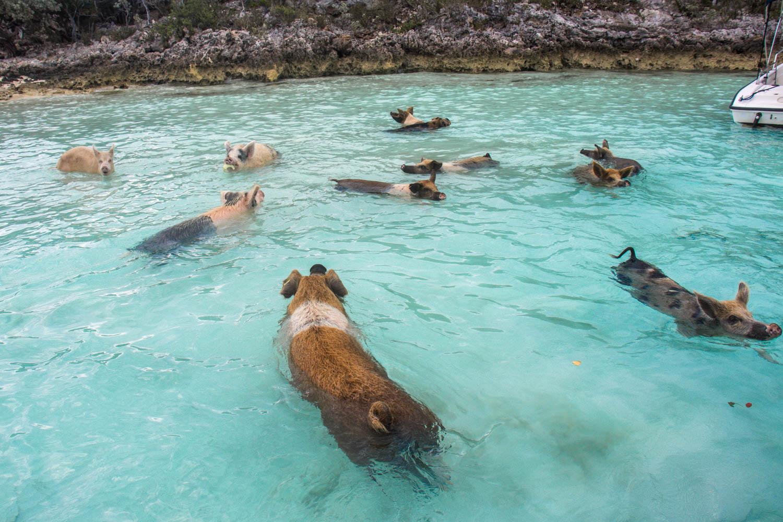 Exuma trip from Nassau to visit the Bahamas Swimming Pigs. Enjoy an Exuma Day Trip from Nassau and visit Pig Beach and the Bahamas Exuma Pigs.