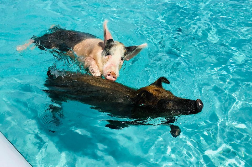 How to choose the Best Pig Island Tours from Nassau